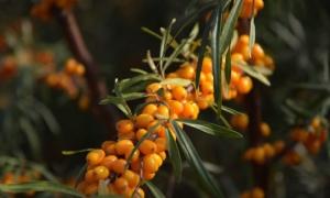 Как можно заготовить ягоды облепихи на зиму: лучшие рецепты, сохраняющие полезные свойства