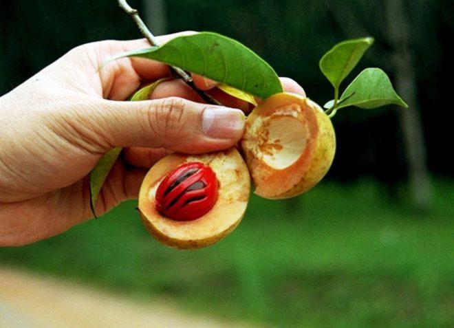 Молодой мускатный орех